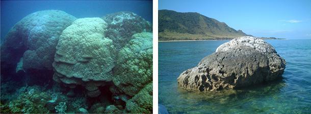 写真 海中で生育しているサンゴ(左)と、骨格だけが残った「化石サンゴ」(高田さんら研究グループ提供)