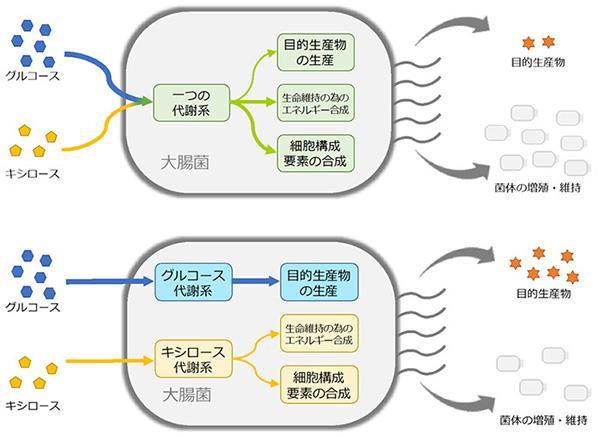 通常の大腸菌を用いた培養(上)と、改変した大腸菌を用いた培養(下)。(神戸大学提供)