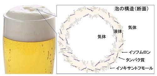 図 ビールの泡の構造を表す概念図。「イソフムロン」「イソキサントフモール」はホップの成分。ホップの成分とタンパク質が泡の液体表面に集まって、泡がつぶれるのを防いでいる。(宮前さんら研究グループ提供)