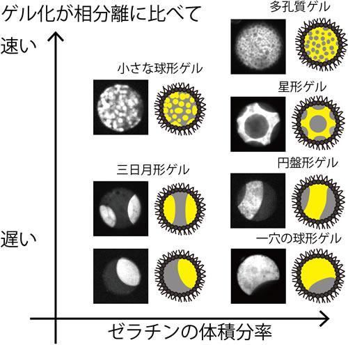 ゼラチン(写真の白、イラストの黄色)と、ゼラチンと相分離する分子(写真の黒、イラストの灰色)からなる小さな液滴(直径0.1㎜)が見せる多様なゼリーの形