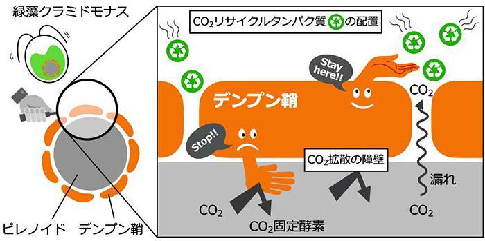 藻類のクラミドモナスの葉緑体で、でんぷんが光合成に貢献する仕組みの概要。でんぷん鞘がCO2の漏れ出しを防ぎ、炭酸脱水酵素(CO2リサイクルタンパク質)を引き寄せていることが分かった(京都大学提供)