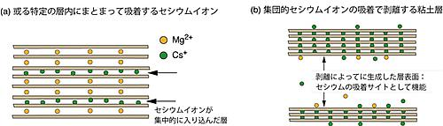 セシウムイオンが層間に吸着したときのバーミキュライトの構造変化