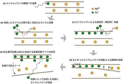 ドミノ倒し的に吸着が進むセシウムイオンとバーミキュライトの構造変化