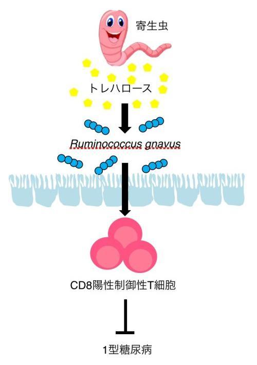 1型糖尿病の発症抑制は、寄生虫がカギを握っている(理化学研究所提供)
