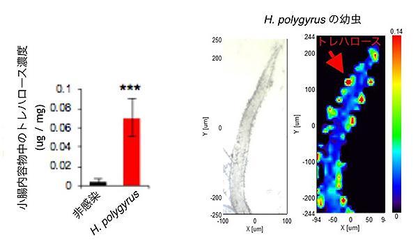 寄生虫に感染したマウスの小腸では、トレハロースの濃度が非感染マウスより14倍も高かった(左)。寄生虫がトレハロースを分泌していることが顕微鏡で分かる。赤い矢印の部分など暖色ほど高濃度だ(理化学研究所提供)