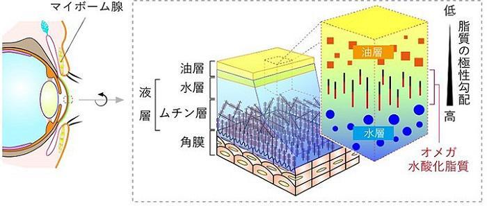 ドライアイを防ぐオメガ水酸化脂質(北海道大学提供)