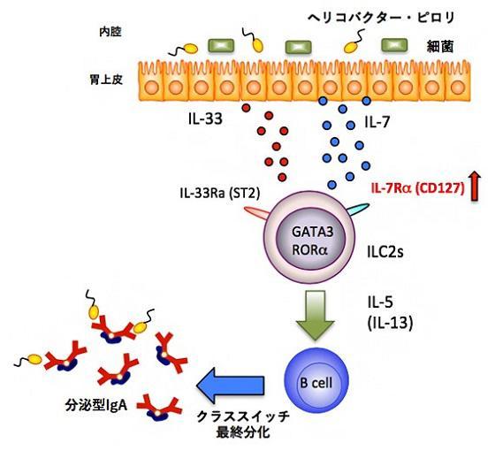 胃が2型自然リンパ球(ILC2)を介して免疫グロブリンA(IgA)を出す仕組みの概念図(理研生命医科学研究センター提供)