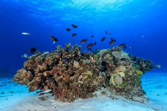 ノーザングレートバリアリーフの健康なサンゴ群に生息するスズメダイの群れ(同)
