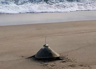 インドネシア西パプア州のワルマメディ海岸で、産卵を終えたヒメウミガメの甲羅に、深度、緯度経度、水温の情報を送信する人工衛星対応型発信器をつけて放した。装置はエポキシ接着剤で装着し、1年から2年後には自然に脱落する。現地政府の調査許可を得て実施している。(佐藤克文教授提供 2019年撮影)