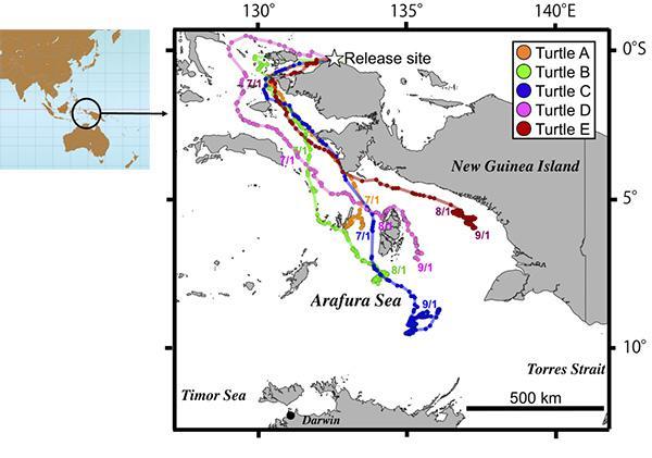 ワルマメディ海岸で放したヒメウミガメの回遊路。5頭ともすべてアラフラ海へ向かった。色線は、5頭のヒメウミガメの各回遊路(2017年6月から9月)。(土井威志研究員提供 / Doi et al. 2019 Frontiers in Marine Science)
