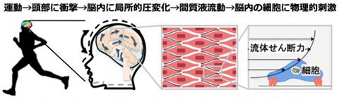 軽いジョギング程度の運動は、足の着地時に頭部に1Gの衝撃を与え、脳内に局所的変化が生じ、脳内間質液が流動し、脳内の細胞に流体せん断力という物理的刺激を加える(国立障害者リハビリテーションセンター研究所提供)