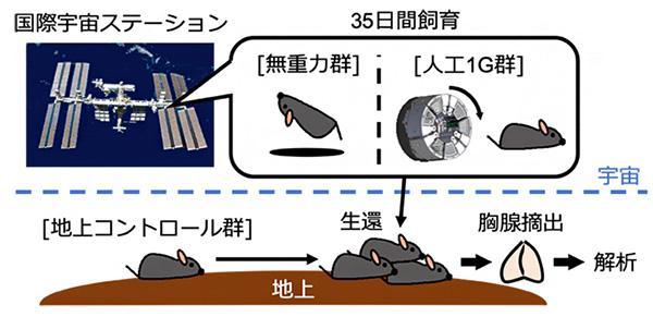 国際宇宙ステーションで飼育したマウスに由来する胸腺の解析(理研などの研究グループ提供)