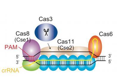 ゲノム編集の新手法として開発された「クリスパー・キャス3」の模式図(大阪大学などの研究グループ提供)