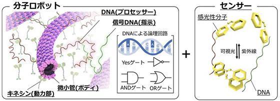 分子ロボットの構造。キネシンと微小管が「駆動系」、DNAは動きを制御する「知能・制御系」、光を当てると形が変わる分子は「センサー」となって命令を切り替える(北海道大学、関西大学などの研究グループ提供 )