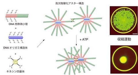 人工筋肉の概略図。DNAオリガミ構造体とDNAをつけた微小管を混合しキネシンを4量化した(4つまとめた)ものを加えると、ミリメートルスケールの網目構造ができる。ここにATPを加えると、それぞれの放射状の構造(アスター構造という)が、キネシンに引き寄せられて収縮する(スケールバーは500マイクロメートル)(北海道大学、関西大学、東京工業大学などの研究グループ提供)