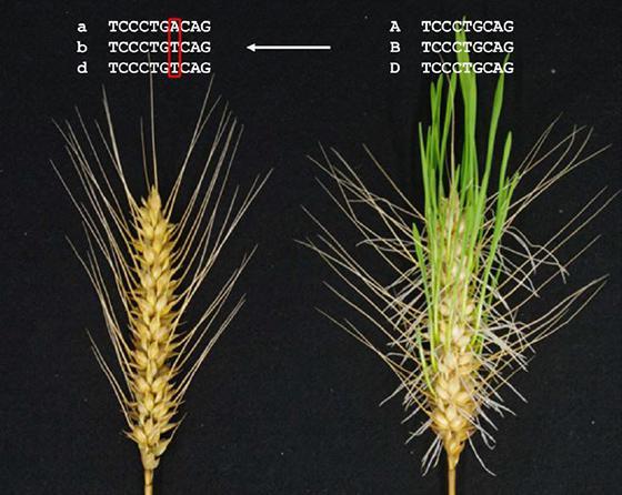 ゲノム編集の技術を使って雨に濡れても発芽しにくくなったコムギ(左)と穂の状態で発芽してしまったコムギ(右)(農研機構、岡山大学など研究グループ提供)