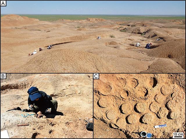 (A)モンゴル・ゴビ砂漠東部のテリジノサウルス類集団営巣跡発見場所。人がいる地点で巣の化石が確認されている(B)発掘の様子(C)巣化石の例。丸い卵の化石が並んでいることが分かる(筑波大学・北海道大学・兵庫県立人と自然の博物館提供)
