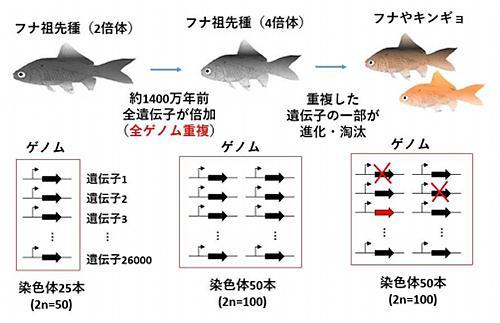 キンギョとフナの祖先種での全ゲノム重複と進化 キンギョやフナの祖先種では、約1400万年前に全ゲノム重複が起こり、遺伝子が一般の魚類の2倍となった。その後、倍加した遺伝子の一部は進化・淘汰されている。その変遷の様子が今回のゲノム解読により明らかとなった。(提供・大阪大学)