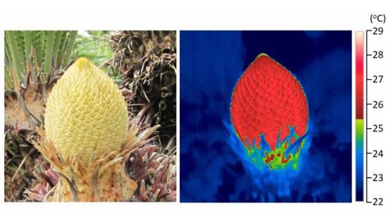 発熱するソテツの雄花(左)。右はサーモグラフィーカメラで撮影した雄花。発熱により、雄花が赤く光っている。この画像が表紙に使われた(提供・宮崎大学/宮崎大学などの研究グループ)