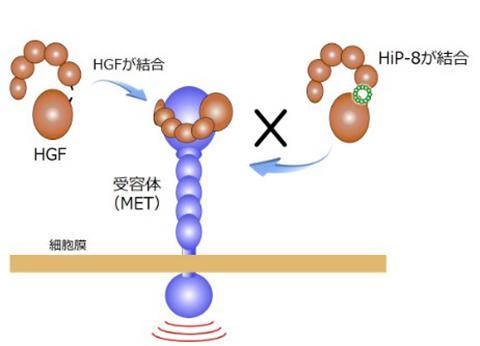HGFは受容体(MET)に結合することで生理作用を発揮する。環状ペプチド「HiP-8」(図中小さな緑の環)がHGFに結合すると、HGFが受容体(MET)へ結合することを阻害する(提供・金沢大学などの研究グループ)