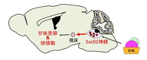 甘味を脳内で伝える神経伝達経路の概念図(生理学研究所提供)