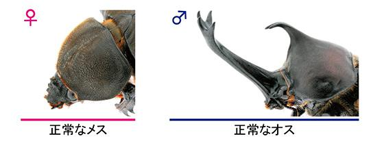 正常なオスとメスのカブトムシ(提供・基礎生物学研究所など研究グループ)
