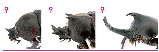 メスの幼虫のトランスフォーマー遺伝子の機能阻害の強さによりさまざまな角ができたメス(提供・基礎生物学研究所など研究グループ)