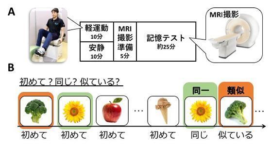 図1 実験の概要A:運動条件(軽運動10分)と安静条件(座位10分)の後、記憶テストを行った。同時に、MRIで脳の活動を測定。B:実験の具体例。まず、ブロッコリー、ヒマワリの花などの写真を見せる。その後、「まったく同じ」または「似ているが少し違う」写真を提示し、以前に見せた類似の写真と比べて、それを正確に区別できた割合から記憶力を評価した。(図はいずれも筑波大学・征矢研究室提供)