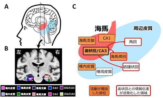 図2 脳内メカニズムの解析A:脳を横から見た図。赤が海馬、水色が海馬周辺の皮質領域を模式的に表したもの。B:Aに示した断面で脳を前から見た図。この研究で解析した海馬の各部位と周辺皮質を色分けして示した。C:海馬歯状回と、海馬に情報を受け渡しする周辺皮質の情報伝達が活発になった。