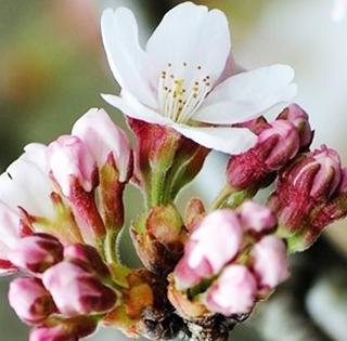開花したソメイヨシノ(提供・島根大学生物資源科学部)