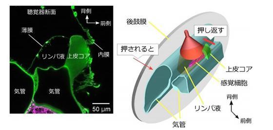 聴覚器の内部構造(提供・北海道大学/北海道大学研究グループ)