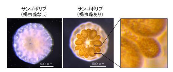 サンゴと褐虫藻の共生(中央の写真)。褐虫藻が共生したサンゴの写真を拡大すると共生する褐虫藻の存在が粒状に確認できる(右の写真)(提供・基礎生物学研究所など研究グループ)