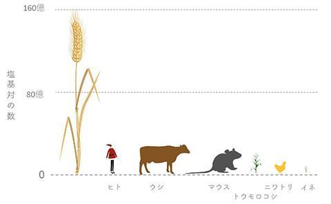 図1. 生物のゲノムサイズの比較。コムギゲノムは、ヒトゲノムの5倍、イネゲノムの40倍以上の大きさ。(The International Wheat Genome Sequencing Consortium(https://www.wheatgenome.org/News/Latest-news/Reference-Sequence/Media-kit)の資料を改変)