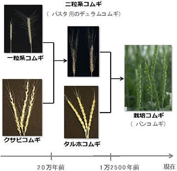 図2. コムギの進化。一粒系コムギ、クサビコムギ、タルホコムギは共通の祖先から分かれて進化した。これらが互いに交雑し、パンやうどんに利用される栽培コムギが生まれた。(プレスリリースの図を一部編集)