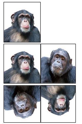 チンパンジーの個体の違いは瞬時に識別できるが逆さになると人間でもわずかながらも見比べる時間が必要になる(大阪市立大学提供)