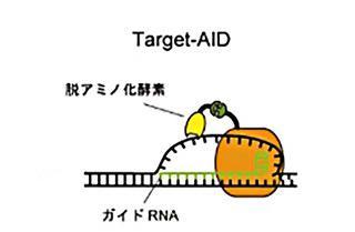 Target-AIDの仕組み(神戸大学などの研究グループ提供)