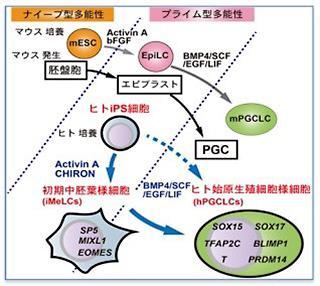 図1 ヒトのiPS細胞から、体内の始原生殖細胞に相当する細胞を作り出すことは難しかった。今回、中胚葉を経由することで、それが可能になった。