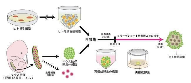 図2 ヒトのiPS細胞から卵原細胞を作る手順。ヒトiPS細胞から得た始原生殖細胞とマウス由来の細胞を合わせて培養すると、卵原細胞ができた。