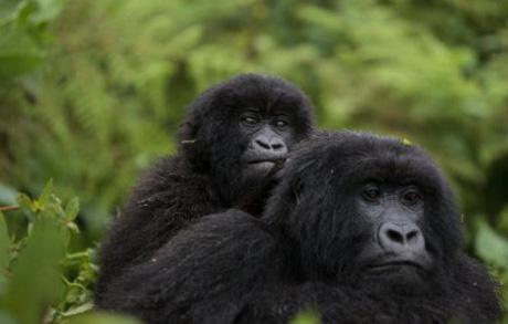 中央アフリカに生息するマウンテンゴリラ(IUCN/Ludovic Hirlimann 氏提供)