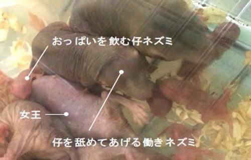 写真 女王ネズミが産んだ子の世話を焼く働きネズミたち(度会さんら研究グループ提供)