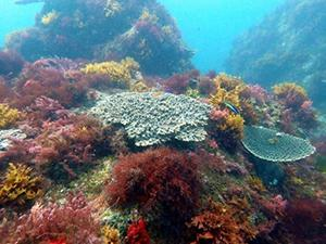 写真1 サンゴや大型の海藻が多く見られる「昔」の海。生物の多様性が高い。(写真はいずれも研究グループ提供)