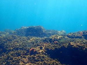 写真2 小型の藻類が主体になった「未来」の海。海洋の酸性化がこのまま進むと、こんな光景がふつうになるかもしれない。