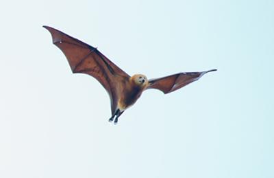 写真2 絶滅危惧種のモーリシャスオオコウモリ(提供・IUCN/日本自然保護協会、? Martin D. Parr)