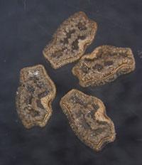 写真2 ヒヨドリの糞に交じって出たナナフシモドキの卵。長さ3ミリメートル、幅2ミリメートルくらい。(末次さんら研究グループ提供)