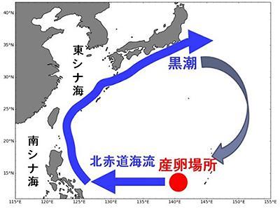 図1 ニホンウナギの産卵場所と海流。北赤道海流はフィリピンの近くで南北に分かれ、北向きの海流が黒潮につながる。(海洋研究開発機構「黒潮親潮ウォッチ」より)