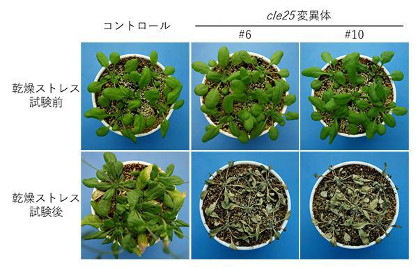 画像 CLE25ペプチドができないようにゲノム編集したシロイヌナズナ(cle25変異体の#6、#10)は乾燥ストレスを与えるとしおれてしまった。CLE25ペプチドが働いたシロイヌナズナはしおれなかった(コントロール)(理研と東京大学、徳島大学の共同研究グループ提供)