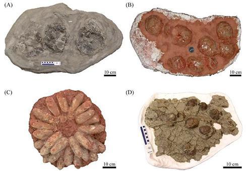 図2 恐竜たちの巣の化石。(A)ハドロサウルス類(ロイヤル・ティレル古生物博物館所蔵)、(B)竜脚形類(フランス、エクス=アン=プロヴァンス自然史博物館所蔵)、(C)オビラプトロサウルス類(中国、?州博物館所蔵)、(D)トロオドン科(ロイヤル・ティレル古生物博物館所蔵)。