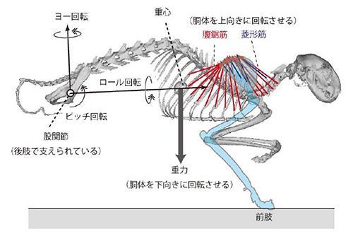 図1 ネコの骨格。前脚(前肢)の最上部が肩甲骨で、その上端から肋骨と背骨が、それぞれ腹鋸筋(ふっきょきん)と菱形筋(りょうけいきん)でつり下げられている。体には、左右にぶれたり上下に動いたりする「ロール」「ピッチ」「ヨー」と呼ばれる力が働く。今回の研究では、この力を分析した。「前肢(ぜんし)」は、脚部と足首から先を合わせた、まえあし全体のこと。(図はいずれも藤原さん提供)
