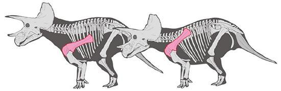 図2 肩甲骨が体の低い位置(左)、高い位置にある場合のトリケラトプスの姿勢。この研究によると、正解はおそらく右のトリケラトプス。