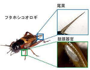 図1 コオロギが空気の流れを捉える感覚器官(尾葉)と、前脚にある聴覚器官(鼓膜器官)。(図はいずれも福富さんら研究グループ提供)